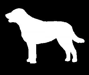 Chesapeake Bay Retriever Dog