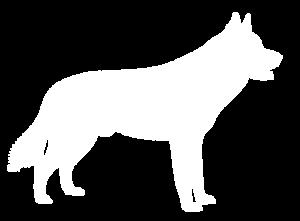 Siberian-husky Dog